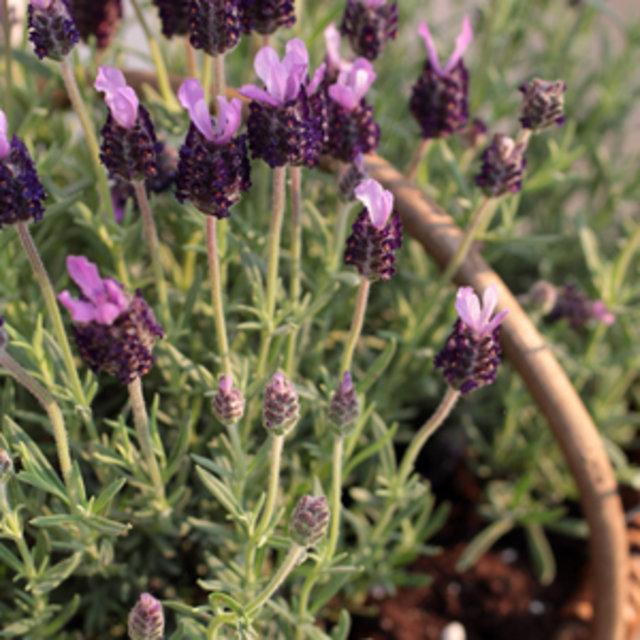 csm_Lavendel_300x300_a6b609cfff